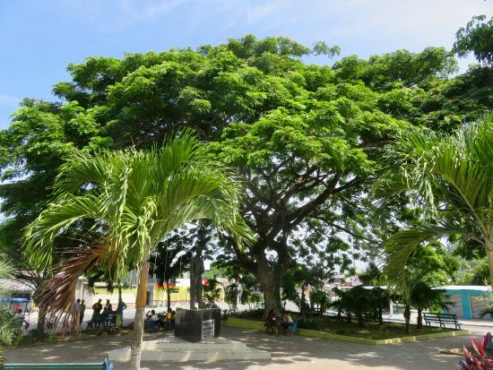 Sua, Ecuador: Beautiful tree near the road triangle at the entrance to town
