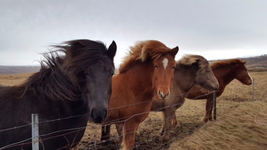 Kópavogur, Island: Stopped at a Horse Farm!
