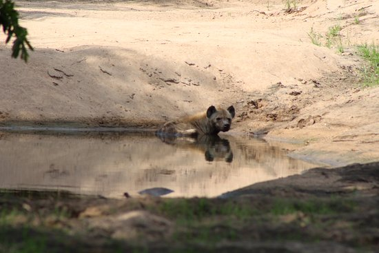Olifants Rest Camp: Hyena cooling down on 126