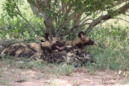 Olifants Rest Camp: Wild dogs escaping the heat
