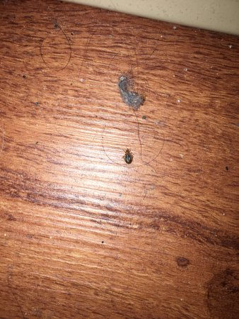 Greenwood, IN: bedbug