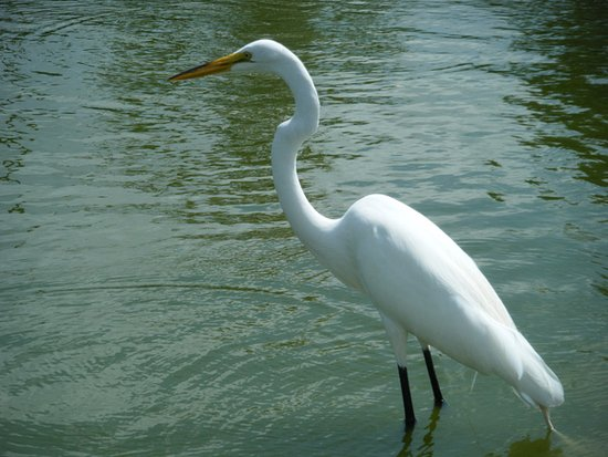 Marrero, หลุยเซียน่า: The egret is patiently fishing... or maybe he's watching us!