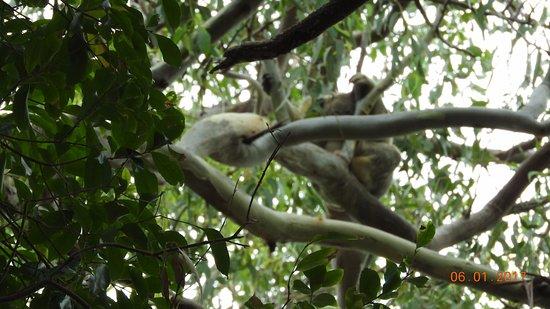 Noosa, Austrália: Coala