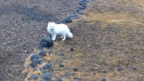 Hvolsvollur, Iceland: Very friendly arctic fox