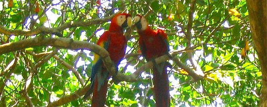 Pavones, Costa Rica: Yes there are lots of scarlet macaws everywhere!