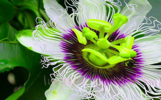 Pavones, Costa Rica: Have you ever seen a passionfruit flower live? And tasted this delicious fruit?