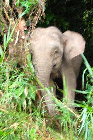 Sukau, Malaysia: Mummy pygmy elephant!