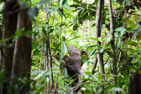 Sukau, Μαλαισία: Baby pygmy elephant
