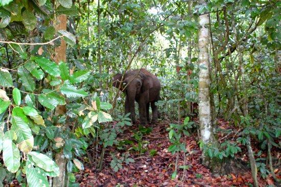 Sukau, Μαλαισία: Mummy pygmy elephant