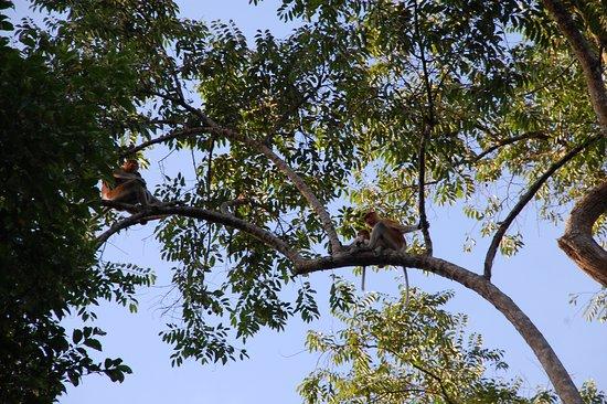 Sukau, Μαλαισία: Proboscis monkeys!