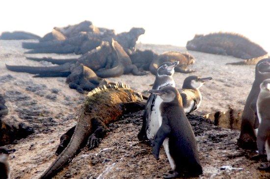 Galapagos Experience: Penguins with Iguanas