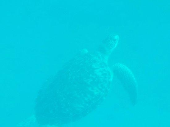 Bouillante, Guadeloupe: Safari tortue