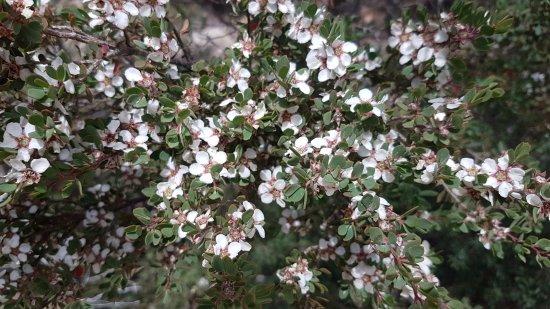 Freycinet, Australia: Flowering Tea Trees
