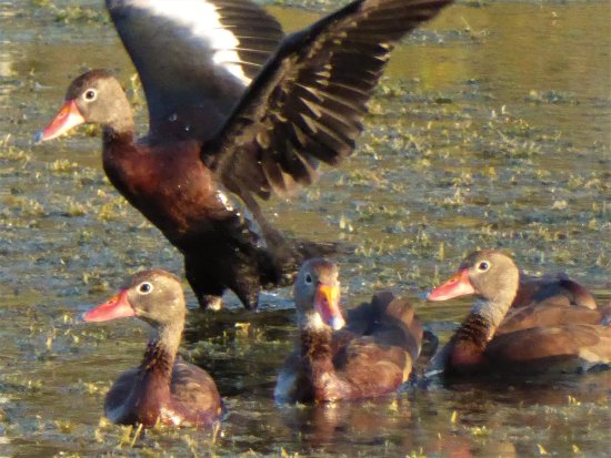 Leesburg, FL: Black-bellied whistling ducks