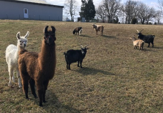 Rim Rock's Dogwood Cabins: Our llamas and goats