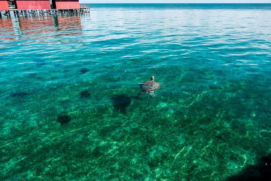 Derawan Islands, Indonesië: a turtle swimming infornt of the cottage,,with blue clear water