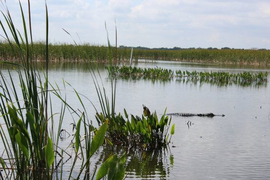 Immokalee, Флорида: More alligators than you can count.