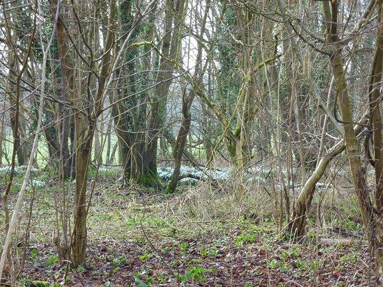 Wimborne Minster, UK: Woodland Snowdrop Canopy