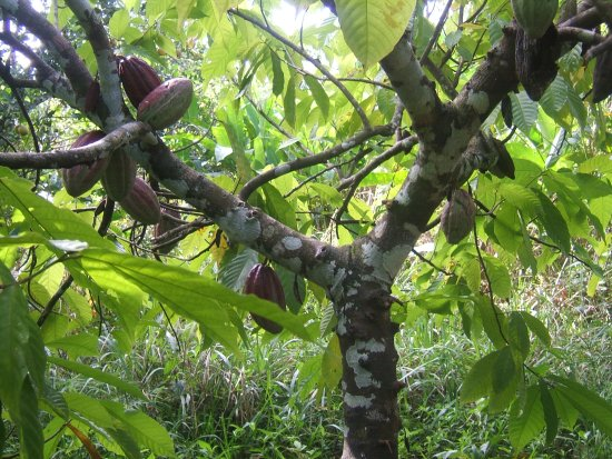 Maya Center Mayan Museum : pictures of red coco pods