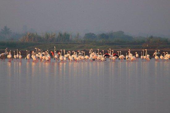 Baramati, India: Flamingos