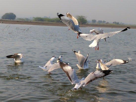 Baramati, India: Seagulls
