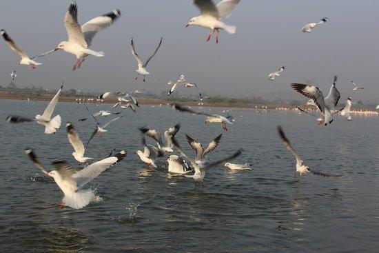 Baramati, India: Seagulls while catching fishes..