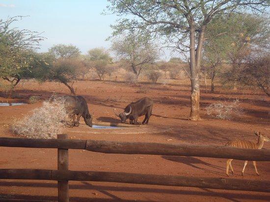 Lephalale, South Africa: cape buffalo