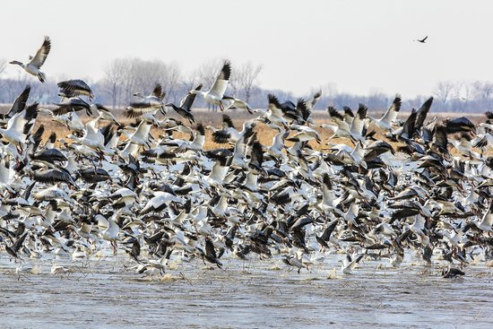 ‪‪Mound City‬, ‪Missouri‬: Over 1 million snow geese! ‬