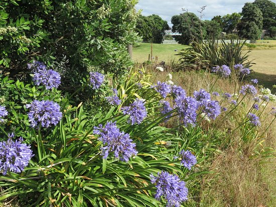 Sunset Motel: Some agapanthus on the grounds.