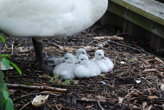 Augusta, MI: Summer means Trumpeter Swan cygnets at the Kellogg Bird Sanctuary!