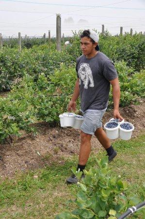 Whakatane, Selandia Baru: bringing in the berries