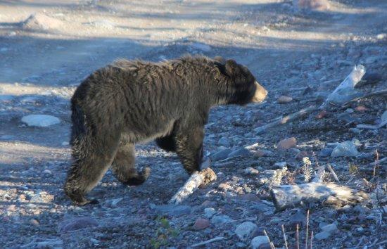 Deer Lake, Canadá: Black Bear - Credit to NL Tourism