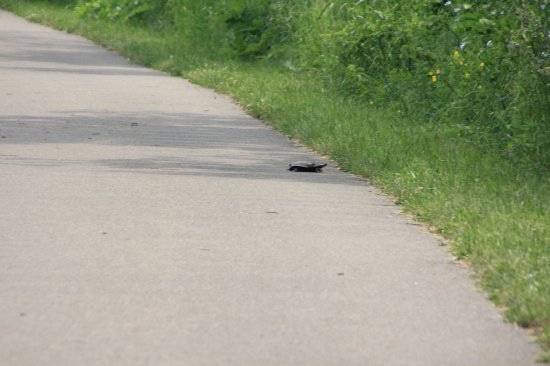 Meadville, PA: A turtle crossing the path