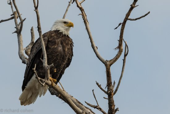 Willows, Kaliforniya: Adult bald eagle looking for lunch