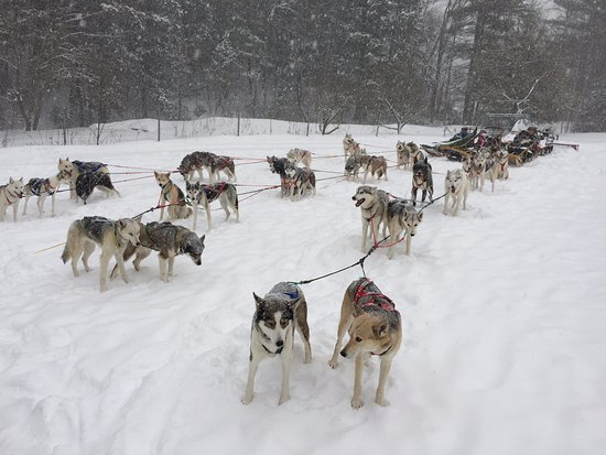 West Wardsboro, VT: Each sled had 10 dogs to pull it along the trails.