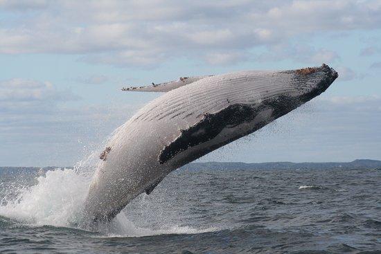 Busselton, أستراليا: Breaching Humpback
