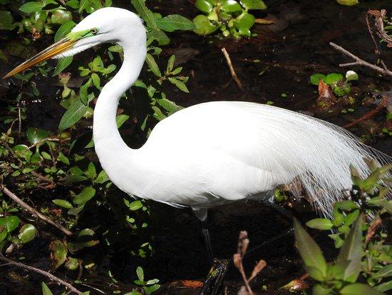 Altamonte Springs, FL: Egret