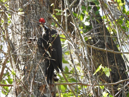 Altamonte Springs, FL: pileated woodpecker.
