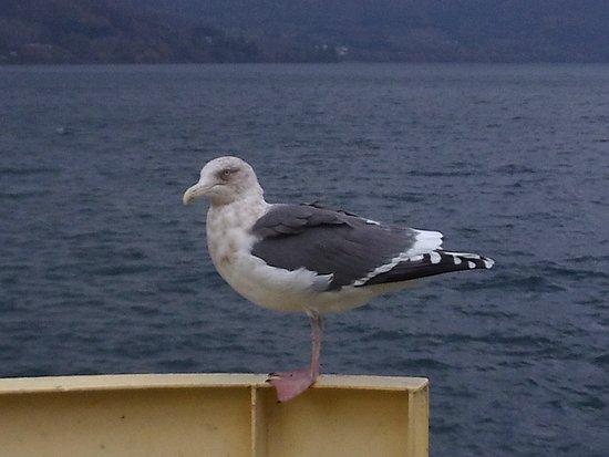 Sobetsu-cho, Japan: 洞爺湖海鷗