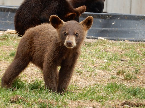Black Bear Cub - Picture of Bear Country USA, Rapid City - TripAdvisor