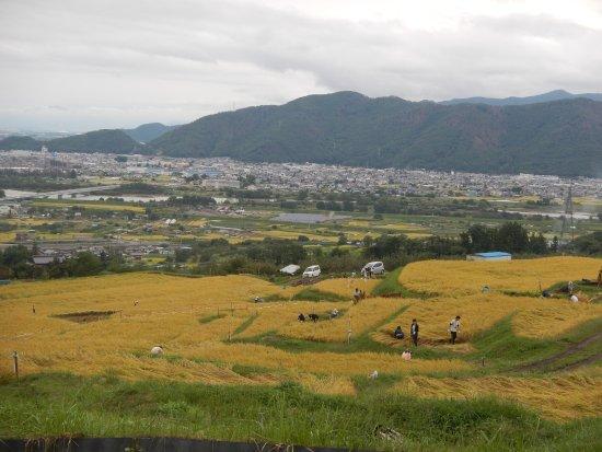 Chikuma, Japan: 一片片金黃色的梯田