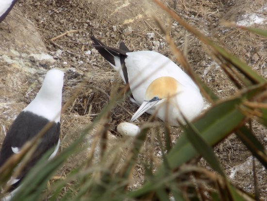 Muriwai Beach, Nya Zeeland: Gannet defending its egg from a seagull