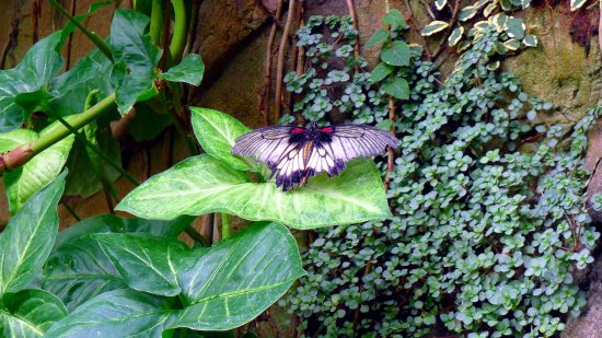Tropical butterflies at Wisley
