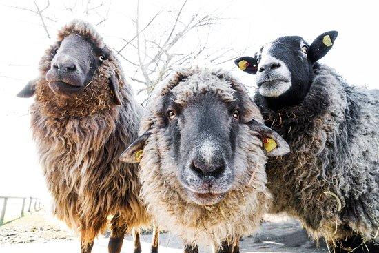 Iffeldorf, Allemagne : die ruhe der tiere wirkt auf den betrachter