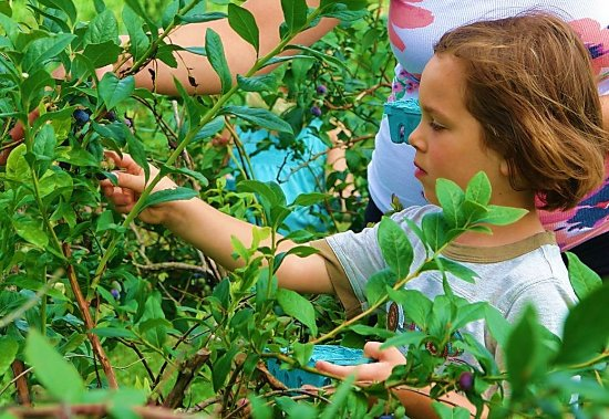 Morrisville, PA: Picking blueberries