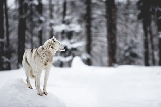 Riviere-Rouge, Canada : Chien Expedition Wolf