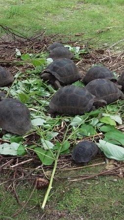 Alphonse Island, Seychelles: The Tortoise nursery