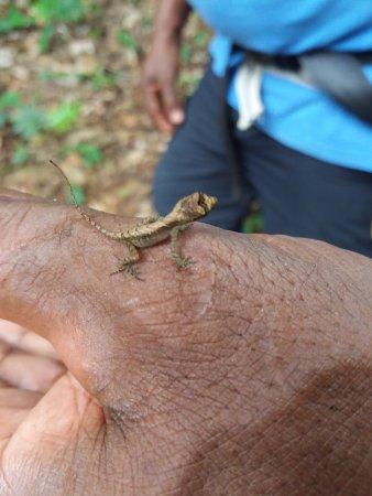 Province of Limon, Costa Rica: Mini Leguan