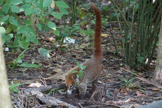 El Meson Tikal: Coati