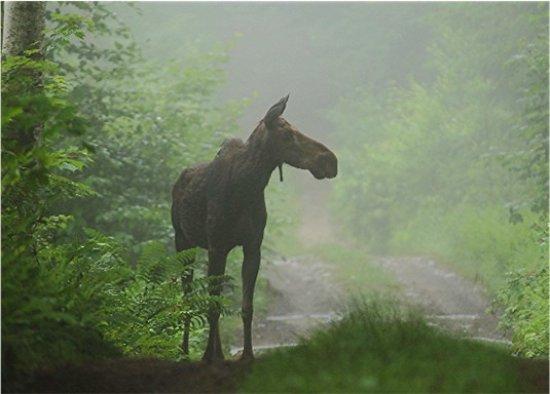 Pittsburg, Νιού Χάμσαϊρ: Misty morning moose.